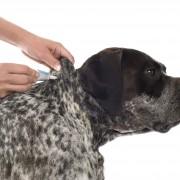 Hund wird mit Spot-On gegen Hundeflöhe behandelt