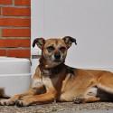 Kurzhaar Hund