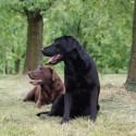 2 Labradore