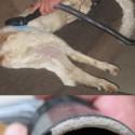 Windhunde werden abgesaugt