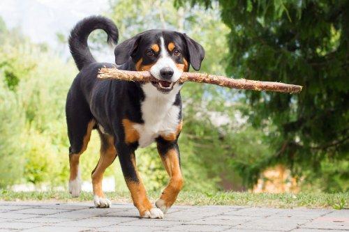 Labrador Dog Home
